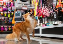 Little Puppy Walking In Pet Shop