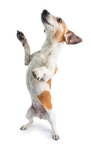Dancing Funny Dog. Standing On Hind Legs. Doing Tricks Funny Dog