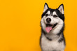 Portrait of a siberian husky looking at the camera with mouth open on a yellow background