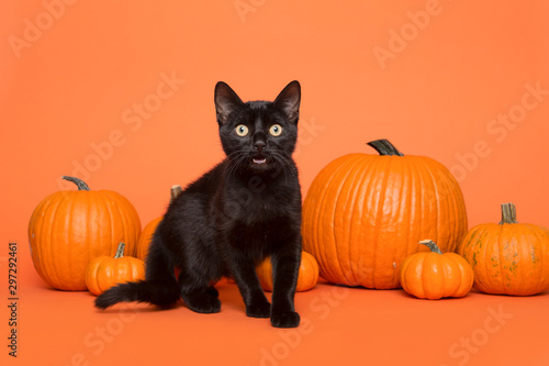 Pretty black cat between orange pumpkins on an orange background - 297292461