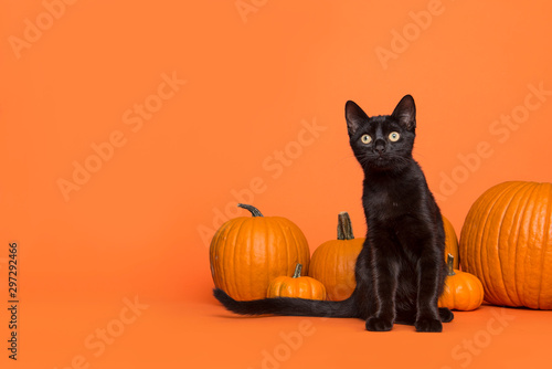 Pretty black cat between orange pumpkins on an orange background