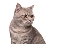 Portrait Of A Pretty Silver Tabby British Shorthair Cat Looking Away To The Side Isolated On A White Background