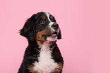 Portrait Of A Cute Bernese Mou...