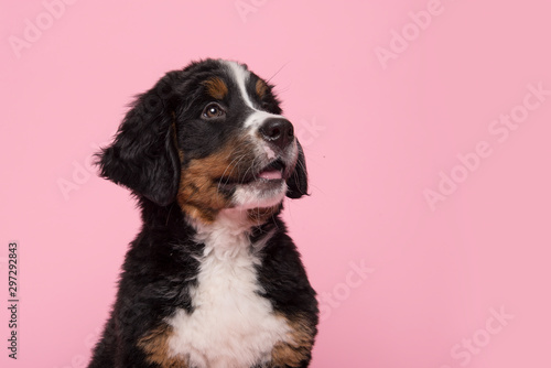Portrait of a cute bernese mountain dog puppy looking up on a pink background Canvas Print