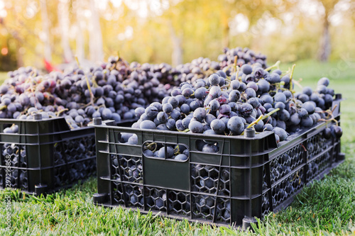 Obraz Baskets of Ripe bunches of black grapes outdoors. Autumn grapes harvest in vineyard on grass ready to delivery for wine making. Cabernet Sauvignon, Merlot, Pinot Noir, Sangiovese grape sort in boxes. - fototapety do salonu