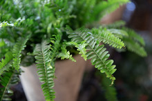 Nephrolepis Or Fern In A Pot. Selective Focus. Close-up.