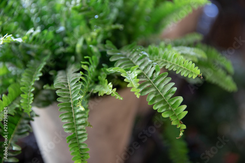 Fototapeta Nephrolepis or fern in a pot. Selective focus. Close-up.