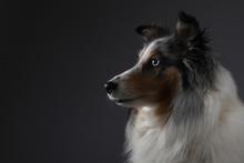 Sheltie Portrait