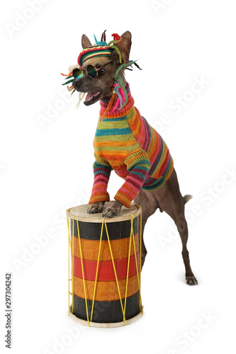 Photo  Funny Xoloitzcuintli dog in clothes of a Rastafarian plays the drum
