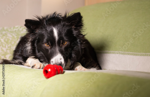 A beautiful border collie puppy stares at his Kong on the couch Poster Mural XXL