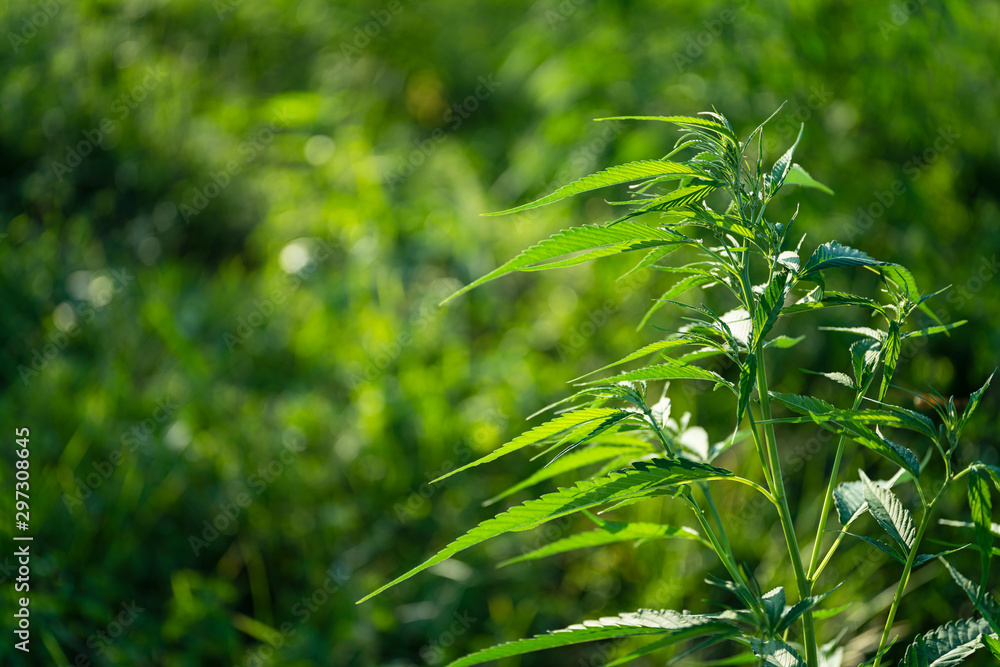 Cannabis sativa, marihuana leaves, photography of medical plant.