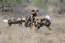 African Wild Dog Playing And Running  In The South Of The Kruger National Park In South Africa