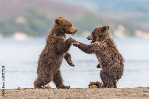 Ruling the landscape, brown bears of Kamchatka (Ursus arctos beringianus) Tablou Canvas