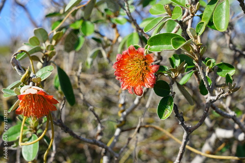 Photo View of a Murchison rose flower (Diplolaena Mollis) in Kalbarri National Park, W