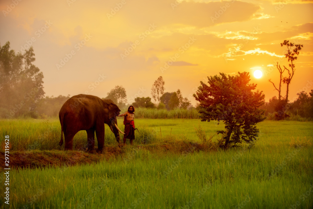 Fototapety, obrazy: Thailand, The mahout, and an elephant walking on the rice field at during sunset