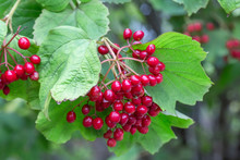 Red Viburnum And Green Leaves ...