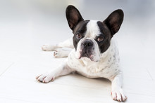 Adorable French Bulldog Posing On The Floor