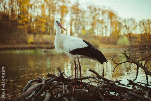 stork in autumn near the water Fototapeta