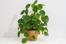 Pilea Peperomioides, Money Pla...