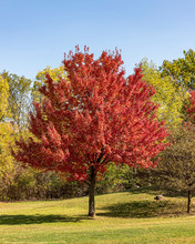 A Red Maple Showing Off It's O...