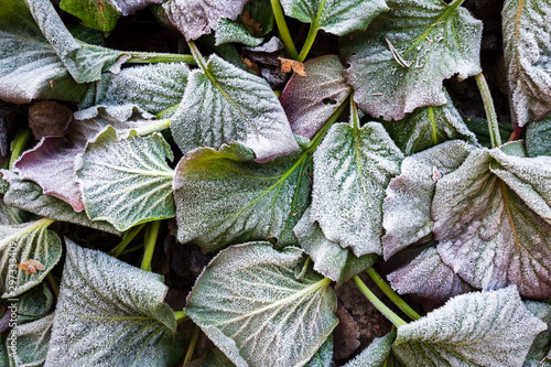 Photo Frost covered leaves of bergenia (Bergenia cordifolia) in a cold late autumn day