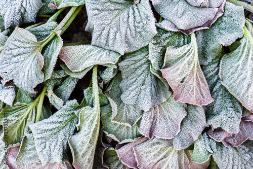 Frost covered leaves of bergenia (Bergenia cordifolia) in a cold late autumn day Wallpaper Mural