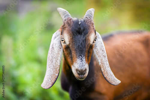 Anglo Nubian goat eating grass on beautiful meadow in summer time Wallpaper Mural