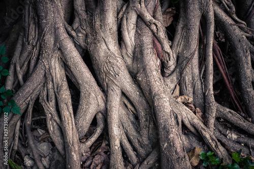 Fototapeta Deep Seated Roots of Banyan Tree