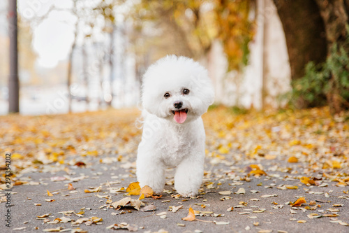 Valokuvatapetti Bichon frize dog close up portrait. Autumn. Fall season