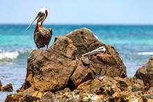 Aruba, Pelikane An Der Küste Der Karibischen Insel.