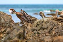 Aruba, Pelikane An Der Küste Der Karibischen ABC-Insel.
