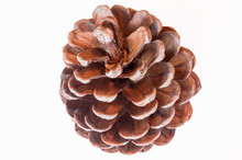 Pine Cone Closeup On White Background. Isolated. Pine Seeds.