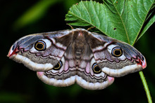 The Small Emperor Moth (Saturn...