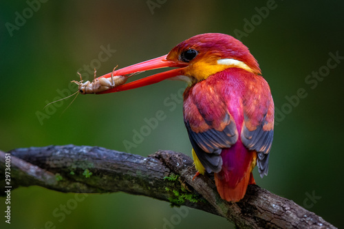 Rufous-backed kingfisher Fototapet