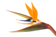 Leinwanddruck Bild - bird of paradise