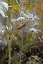 Milkweed Seeds In Floss Carried Off By The Wind.