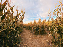 View Of Corn Field