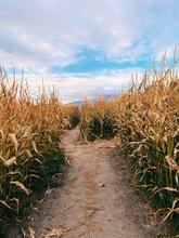 Path In Corn Field