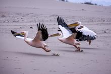 Envole D'une Groupe De Pélicans Sur Une Plage Déserte De Namibie - Afrique