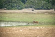 Sri Lankan Axis Deer (Axis Axi...