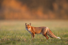 Mammals - European Red Fox (Vulpes Vulpes)