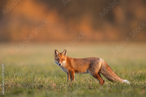 Mammals - European Red Fox (Vulpes vulpes) Canvas Print