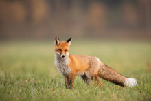 Mammals - European Red Fox (Vu...