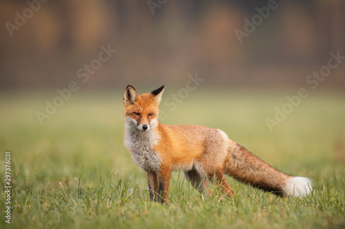 Mammals - European Red Fox (Vulpes vulpes) Wallpaper Mural