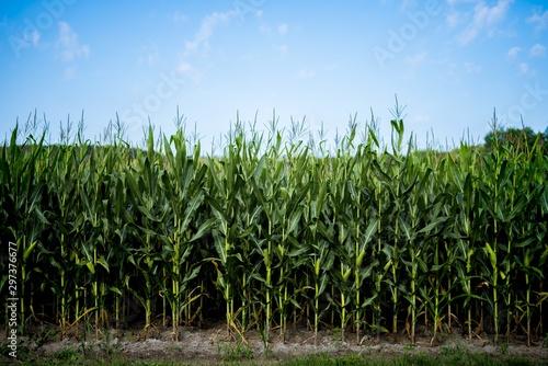 Foto op Plexiglas Weide, Moeras Beautiful shot of cornfield with a blue sky in the background
