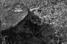 Black And White Tree Stump