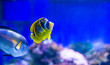 canvas print picture - Yellow-faced Angelfish swimming over a tropical coral reef