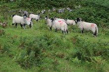 Herd Of Sheep In A Field Yorkshire Dales