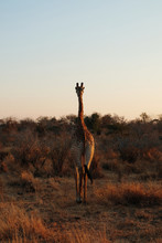 Back View Of Giraffe In Forest