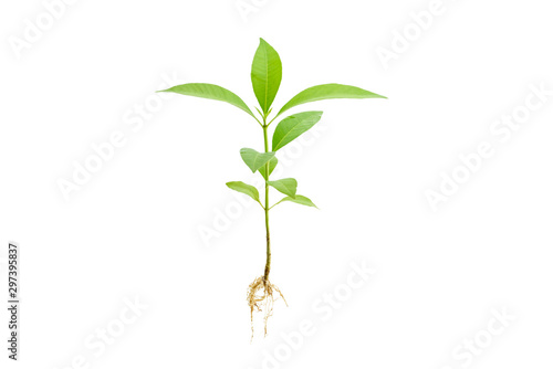 Fotografie, Obraz Young green plant / growing sprout with root white isolated, natural germination process, produce new leaves or buds
